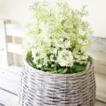サクラソウ花鉢