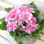 サイネリア花鉢